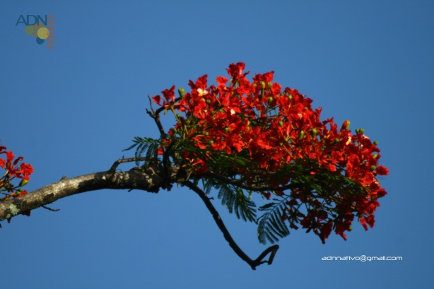 framboyan tree